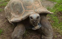 Aldabra giant tortoise | An Aldabra giant tortoise walks toward the camera as two others are ...