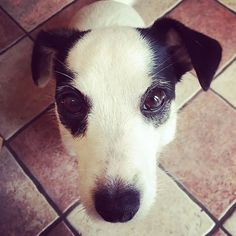 That face! #megsypoo #jackrussell #jackrussellsofinstagram #dogsofinsta #PetPlaceSelfie Cute Animals, Selfie, Face, Dogs, Instagram, Animales, Pretty Animals, Cutest Animals, Doggies