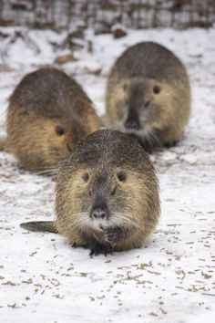 The coypu, also known as the river rat or nutria is a large herbivorous rodent native to South America.