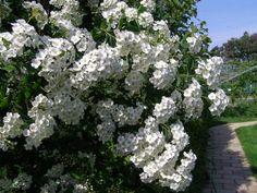 Živé ploty - neprostupné a kvetoucí: tavolník van Houtteův
