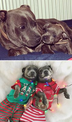 Adorable Pit Bulls Growing Up Together