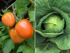 Cabbage, Vegetables, Garden, Nature, Tips, Garten, Lawn And Garden, Cabbages, Vegetable Recipes