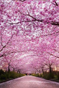 Nadire Atas on Cherry Blossom Trees Cherry blossoms in Copenhagen! Beautiful World, Beautiful Places, Beautiful Park, Blossom Trees, Cherry Blossoms, Cherry Blossom Pictures, Cherry Blossom Wallpaper, Cherry Blossom Japan, Pink Blossom