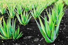 Aloe Vera is a powerful plant, one that produces natural antiseptics. There are many benefits of using Aloe Vera. In ancient Egypt, what is aloe vera? Aloe E Vera, What Is Aloe Vera, Health Remedies, Home Remedies, Natural Remedies, Acid Reflux Remedies, Acne Help, Herbalism, The Cure