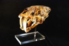 Sabertooth Cat Skull Cast Replica Models La Brea Color with base for sale at www.SkeletonsAndSkullsSuperstore.com. These dinosaur skeletons and skull are museum quality replicas from La Brea Tar Pits are ideal for educators, veterinarians and students.