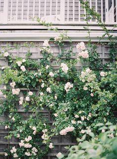 roses   climbing plants