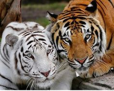 "Save the ""TIGERS""!"