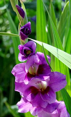 Gladiolus. Perennial. Well drained soil. Full sun. Plant in late spring. Fairly hardy. Grow tall.