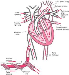 Normal fetal circulation