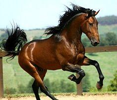 Puro Sangue Lusitano stallion, Corsário Interagro.