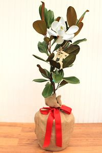This magnificent magnolia is known for its deep green leaves and rich, red velvet underside. Beautifully packaged as a meanigful magnolia gift to send to that special someone. Each tree comes covered in 100% natural jute with its own set of care instructions, small watering tool, envelope & gift card as shown above. A magnolia suited for the recipient's zip code will be selected.