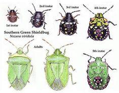 Doctorul Plantelor: Scapa rapid de Plosnita verde a tomatelor (Nezara viridula) Bug Identification, Shield Bugs, Southern Greens, Veg Patch, Stink Bugs, Small Space Gardening, Hobby Farms, Grow Your Own Food, Urban Farming