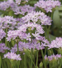 New Allium Collection