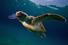 turtle eating jellyfish,Photo by Arthur de Bock.