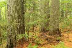 The Adirondack wilderness in New York is home to about 300,000 acres of ancient trees scattered about the vast wilderness. Some of the largest hardwoods in the world can be found dotting remote ridgelines and lining secluded rivers deep within the park, where logging wasn't able to disrupt centuries of steady growth. However, some select stands have remained in accessible areas.