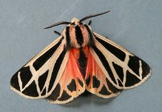 malformalady:  Harnessed Tiger Moth(Apantesis phalerata) is a species of moth of the Arctiidae family. It is found from Ontario, Quebec and Maine to Florida, west to Texas, north to South Dakota.The wingspan is 30–42 mm.  Photo credit:   	Seabrooke Leckie