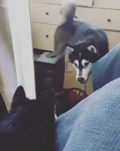 Strange reaction of the dog to its reflection