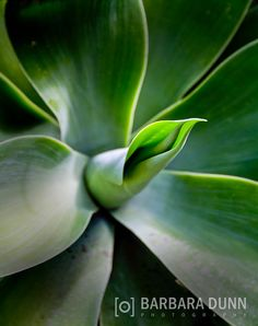 Agave Attenuata by BarbaraDunnPhotos on Etsy Agave Attenuata, Agave Plant, Photos For Sale, Succulents, Digital, Plants, Photography, Etsy, Centre