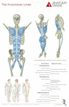 Anatomy Trains Edition Book and Posters package by Tom Myers. Learn myofascial meridians and the anatomy of connection with 8 posters for visual reference. What Is Fascia, Train Posters, Book Posters, Muscle Anatomy, Qi Gong, Functional Training, Anatomy And Physiology, Anatomy Reference, Workout Routines