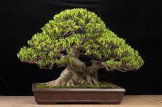 Ficus microcarpa (24 inches) by Budi Sulistyo