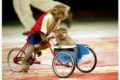 Monkeys bike-racing