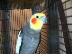 VIDEO, click to PLAY... Cockateil Cockatiel Pet Bird Telling Story.