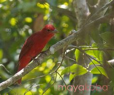 #WildWednesday This beautiful bird is called the Summer Tanager! Interesting fact – the Summer Tanager is the only completely red bird in North America.  #Miercolessilvestre , Esta bella ave se llama Piranga roja! El dato interesante es que esta Piranga Roja es la única ave completamente roja en Norte America.