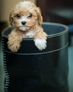 i wantttt a cavapoo! Puppies And Kitties, Cute Puppies, Cute Dogs, Doggies, English Goldendoodle, Cavapoo, Puppy Pictures, Cute Pictures, Poodle