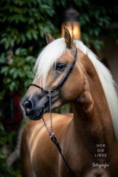 Haflinger stallion Sandiego during my South Tyrol tour this weekend. I love simple portraits its timeless . All The Pretty Horses, Beautiful Horses, Animals Beautiful, Horse Photos, Horse Pictures, Haflinger Horse, Breyer Horses, Horse Show Clothes, Barrel Racing Horses