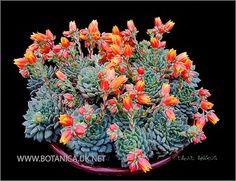 Succulents - BOTANICA. Echeveria cultivar