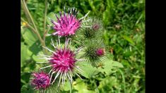 Brusturele - Buruiana Care Vindeca Tot Medicinal Plants, Dandelion, Youtube, Medicine, Health, Garden, Flowers, Travel, Movie