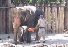 Elephant cleans his forehead with a broom