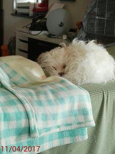 Aprile dolce dormire!! #amoimaltesi