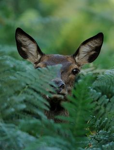 jaws-and-claws:  Red Deer hind by Benjamin Joseph Andrew on Flickr.