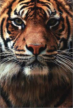 gorgeous tiger portrait