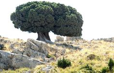 A Juniper tree is seen in Dinnieh, Lebanon