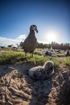 """An albatross named Wisdom has been honored with the title of """"The World's Oldest Known Wild Bird."""" Though her exact age is estimated, it's known that she's at least 65 years old. While this is an amazing feat on its own, Wisdom recently accomplished something even more impressive—she hatched a baby! The chick, named Kūkini, was born on February 1st. It's believed that Kūkini (which is a Hawaiian name meaning """"messenger"""") is Wisdom's 40th child. """"Wisdom is an iconic symbol of inspiration and…"""