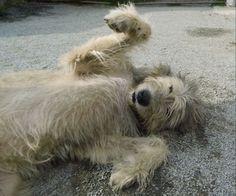 Irischer Wolfshund / Irish Wolfhound Welpen (Niederndodeleben) - VDH Irish Wolfhound - dhd24.com