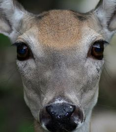 Whitetail...Look at that face!!!!