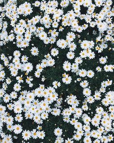 And into the daisy field I go, to nourish my flower-loving soul! Dragon Wallpaper Iphone, Daisy Wallpaper, Field Wallpaper, Aesthetic Desktop Wallpaper, Iphone Background Wallpaper, Small Flowers, My Flower, Flower Feild, Daisy Background