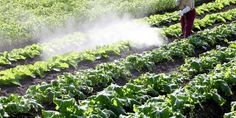 The world is focused on glyphosate, but another commonly used farm herbicide could be just as poisonous. Action Alert!! As Bad as Glyphosate?
