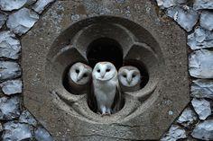 Three barn owls in a church window.