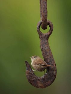 Bird on A Rusty Hook I love this photo found here . Bird on A Rusty Hook I love this photo found here . Small Birds, Little Birds, Love Birds, Beautiful Birds, Pet Birds, Animals Beautiful, Tiny Bird, Beautiful Pictures, Animals And Pets