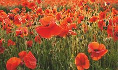 Gardens: why the poppy is more than a symbol of remembrance | Life and style | The Guardian