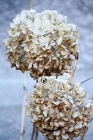 Image result for Hydrangea dried