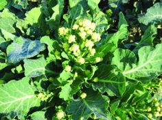 New vegetable seeds for my choice Growing Vegetables, Fruits And Vegetables, Broccoli, Seeds, Environment, Posts, Garden, Blog, Pictures