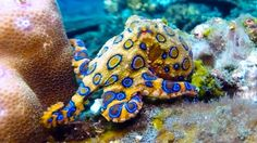 The Blue-Ringed Octopus lives in tide pools and coral reefs in the Pacific and Indian Oceans. They are considered one of the most venomous marine animals. They are normally rather passive, unless they feel threatened. Deadly Creatures, Deadly Animals, Sea Creatures, Dangerous Animals, Types Of Octopus, Octopus Species, Deep Blue Sea, Animals Of The World, Tropical Fish