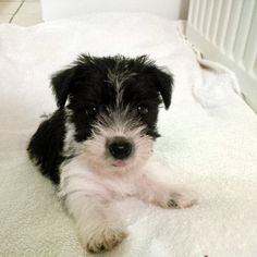 Millie - when she was 12 weeks old - black and white long haired Jack Russell cross. Our baby x