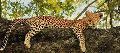 Leopard Tree - Wildlife Photographer Community Another beautiful image of young leopard from Botswana bu Simon Douglas  http://photos.wildfact.com/image/550/leopard-tree