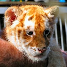 Image detail for -Dog nurses baby Liger cubs in Xixiakou Zoo, China « dog-breeds news
